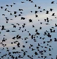 Aves migratorias (Foto: AP)