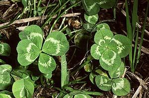 Unos tréboles de cuatro hojas, (Foto: Agefotostock)