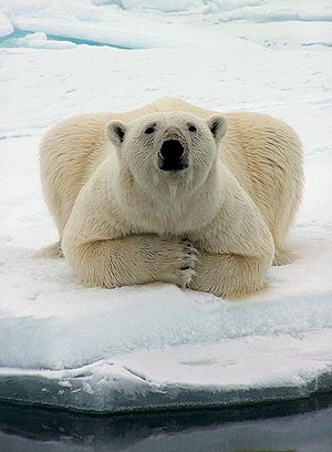 Un oso polar, en Alaska. (Foto: AP)
