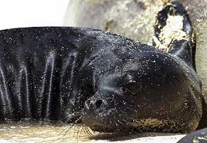 Una foca hawaiana. (Foto: AP)