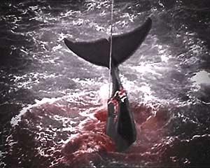 Los arpones con explosivos tardan varios minutos en matar a los cetáceos. (Foto: EFE)