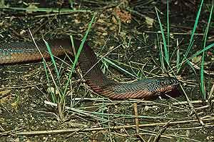 La serpiente, en este caso de color marrón-rojizo. (Foto: WWF)