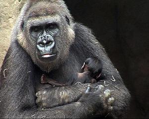 El gorila recién nacido con su madre Gorka. (Foto: EL MUNDO)