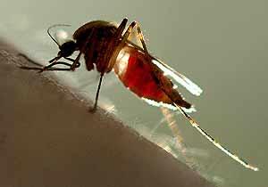 Un mosquito atacando su presa. (Foto:A FP)