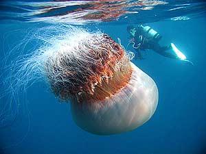 Algunas medusas pueden tener un tamaño superior al de un hombre. (Foto: AP)