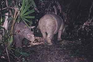 Unas crías de rinoceronte de Java fotografiadas en 2003. (Foto: WWF/Adena Indonesia)