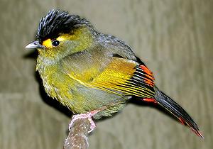 Un ejemplar de Bugun Liocichla, la nueva especie descubierta. (Foto: REUTERS)