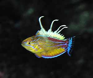 Uno de los nuevos peces encontrados en Papúa. (Foto: AP)