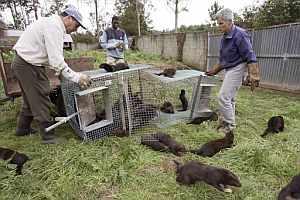 Trabajadores de la granja del municipio coruñés de Oza dos Ríos, con varios ejemplares de visón capturados (Foto: EFE)