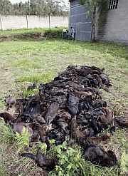 Algunos de los visones han muerto. (Foto: EFE)