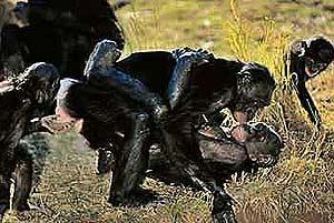 Los simios que viven en grupos tiene frecuentemente relaciones homosexuales. (Foto: Museo Historia Natural Oslo)
