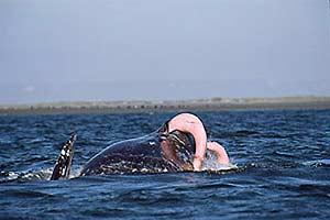Las ballenas macho son más fieles a su pareja cuando ésta es otro macho. (Foto: Museo Historia Natural Oslo)