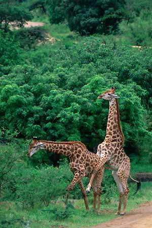 Entre las jirafas africanas las prácticas homosexuales son muy comunes. (Foto: Museo Historia Natural de Oslo)