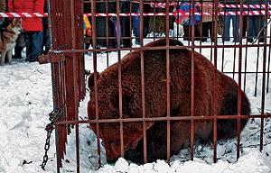 El oso Mitrofán, enjaulado en Vólogda en marzo de 2006. (Foto: Komsomolkaya Pravda)