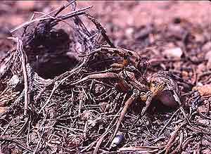 Una tarántula. (Foto: CSIC)