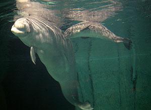 La beluga nada junto a su madre en Valencia en una imagen del pasado día 16. (Foto: AP)