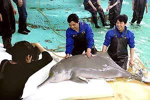 Este delfín 'baiji' fue el único que vivió unos años en cautivida. (Foto: AP)