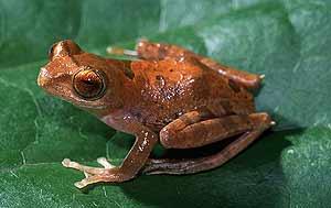 Una de las extrañas ranas encontradas en Borneo. (Foto: WWF/Adena)