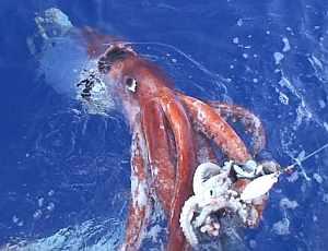 El calamar gigante, vivo, ataca a otro animal colocado como cebo. (Foto: AP)
