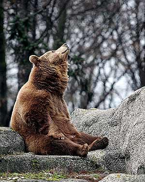 Los osos que no hibernan se vuelven extremadamente agresivos. (Foto: EFE)