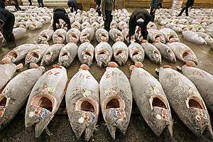 Decenas de atunes en una lonja de Japón. (Foto: Reuters)