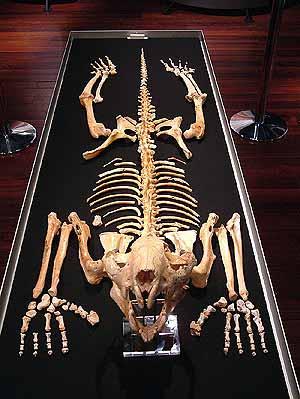 El esqueleto del marsupial, expuesto. (Foto: Nature)