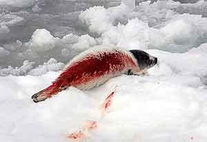 El 52% de las focas son despellejadas cuando todavía estan conscientes. (Foto: EFE)