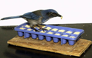 El ave estadounidense con la que se ha realizado el estudio en uno de los comederos. (Foto: EFE)
