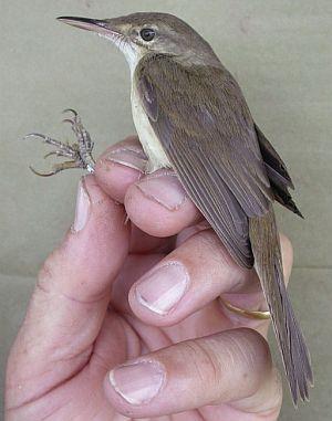 Ejemplar de 'Acrobe phalus orinus' encontrado. (Foto: EFE)
