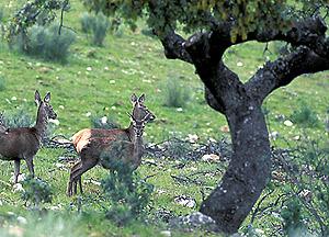 Ciervos en el parque de Monfragüe. (Foto: EL MUNDO)