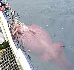 El calamar, tras ser capturado. (Foto: Reuters)