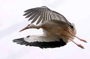 Las cigüeñas aún siguen en los países del norte. (Foto: EFE)