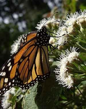 La mariposa Monarca ha comenzado ya su vuelo de vuelta a las tierras frías del norte de América: Canadá. (Foto: Arnau Doménech)