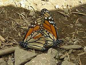 Después de aparease, el macho de las Monarcas muere. (Foto: Nieves Liso)
