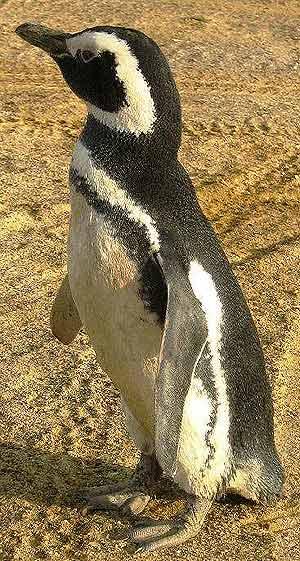 El animal se recupera ahora de las heridas que tenía en un ala. (Foto: EFE)
