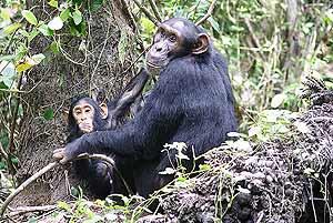 Una hembra de chimpancé junto a su cría. (Foto: Current Biology)