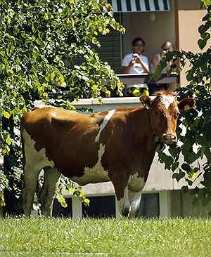 Sus descubridores pagaron por la vaca unos 175 euros. (Foto. AFP)