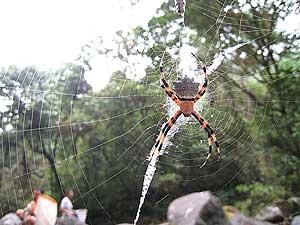 Una de las arañas encontradas en la Caldera. (Foto: UCM) VEA MÁS FOTOS