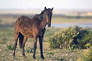Un ejemplar de caballo de retuerta. (Foto: CSIC)