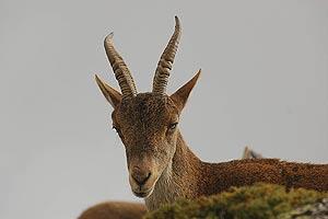 Un ejemplar de cabra montesa. (Foto. EL MUNDO)