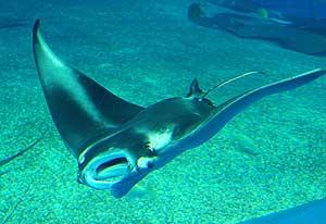 La manta-raya midió casi dos metros al nacer. (Foto. elmundo.es)