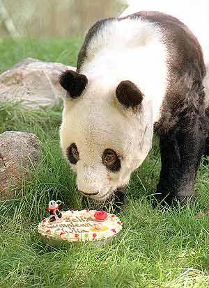 Chu-lin fue el último panda que vivió en España. Murió en 1996. (Foto: EL MUNDO)