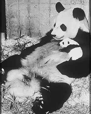 Shao-Shao posa con su cría recién nacida, Chu-Lin, en 1982. (Foto: EL MUNDO)