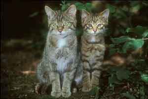 Dos gatos salvajes de Escocia. (Foto: Science)