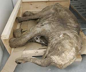 Cría de mamut congelada en el hielo (Foto: Tass)