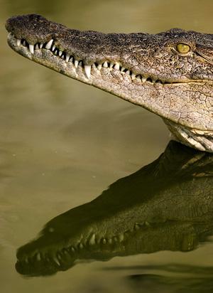 Uno de los ejemplares en la granja de cocodrilos, Kariba. (Foto: EFE)