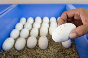 Un huevo de cocodrilo en la incubadora de la granja. (Foto: EFE)