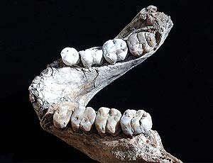 Dentadura de Austrolopitecus. Foto: Museo de Historia Natural de Cleveland