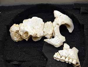 Fragmentos del resto del hominido hallado en Atapuerca (Foto: CYT)