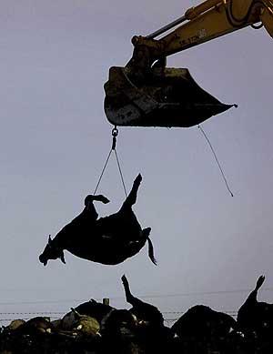 Una granja se prepara para incinerar el ganado sacrificado en la epidemia de 2001. (Foto: REUTERS)